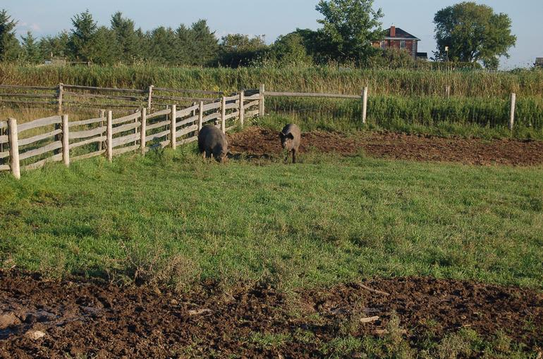 Alverstoke farm B&B - Harriet and Paris two of our sows playing together out on pasture.
