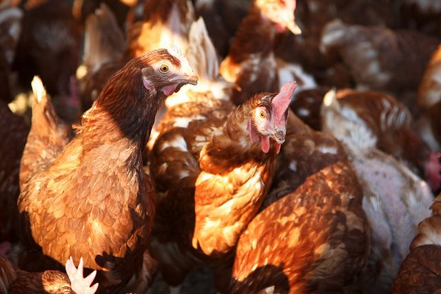 Lake Meadow Naturals, LLC - Rhode Island Red cage free chickens these are our main egg producing birds