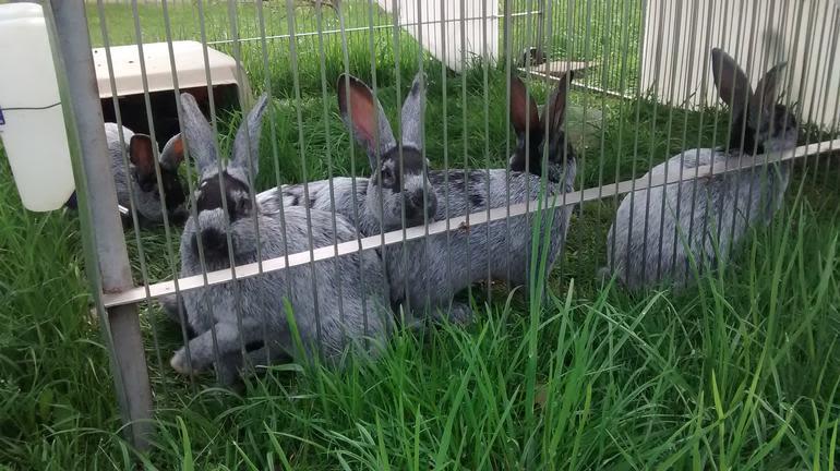 Brick House Acres - Heritage breed rabbits