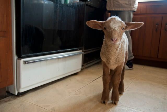 Meadow Mist Farm - Taj Baby Ram in our Kitchen