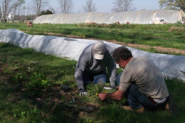 Boulder Belt Eco-Farm - Eugene and one of our working CSA members clean out an raspberry bed