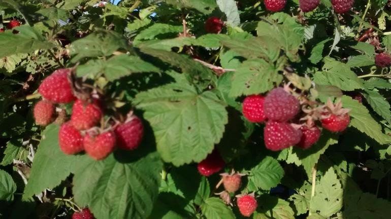 Brick House Acres - Raspberries