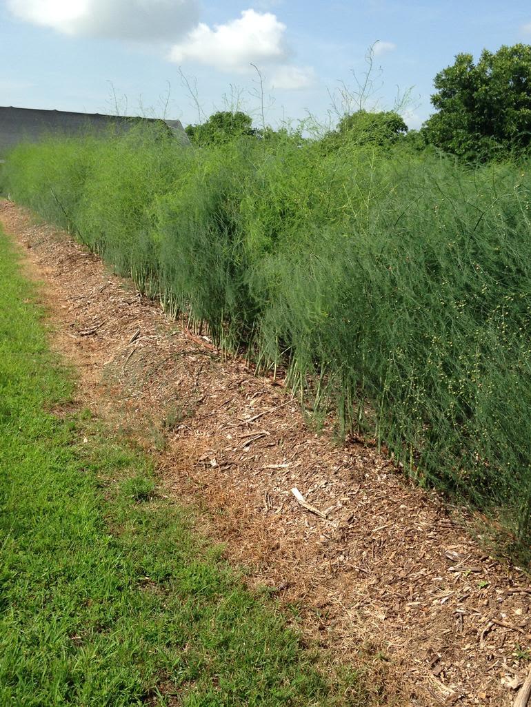 Outback Farm - asparagus ferns