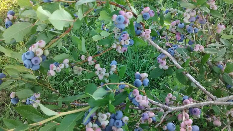 Brick House Acres - Plump juicy blueberries!