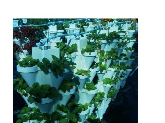 Knutson's Country Harvest - Strawberries in our 15,000 plant Hydroponic system.