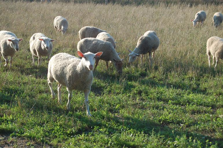 Alverstoke farm B&B - Ewes and lambs out on pasture.