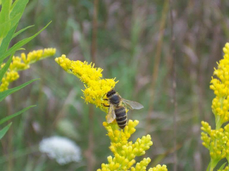 Dickey Bee Honey Inc - Dickey Bee Honeybee on the Goldenrod