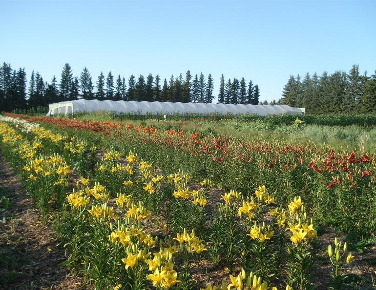 Eagle Creek Farms - Thousands of Upick Lilies, Sunflowers & other flowers available for picking throughout the summer