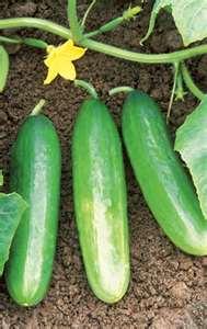 Hollisaja Farm - Select Cucumbers