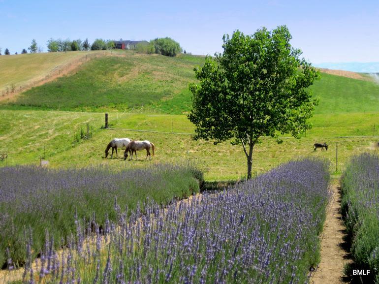 Blue Mountain Lavender Farm - Image 4