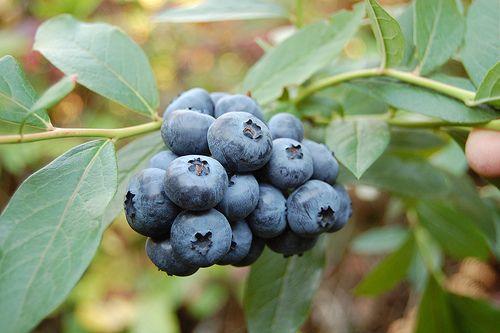 Kendalls Blueberries - Image 0