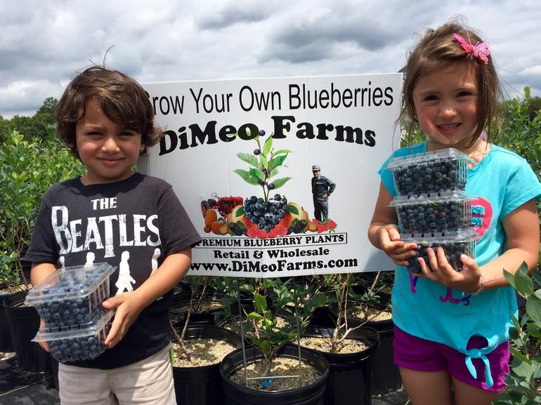 DiMeo Farms & Blueberry Plants Nursery - Growing Blueberries is easy with blueberry plants from DiMeo Farms in Hammonton. Call (609) 561-5905 to get a quote on any of our Non-GMO, naturally grown blueberry bushes.