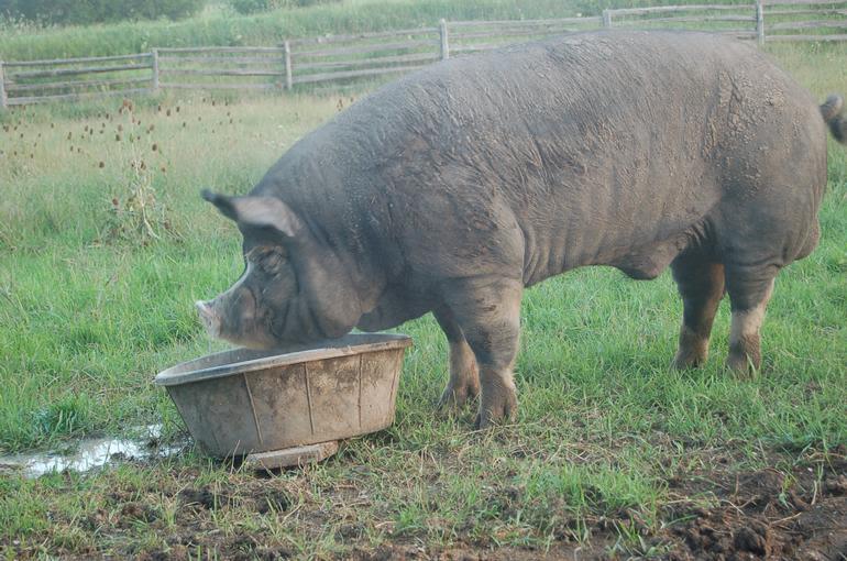Alverstoke farm B&B - Dobby 850lb of pure Berkshire boar fun !