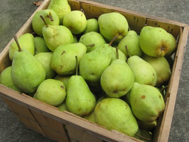 Orchard Beach Farm - Bartlett pears.