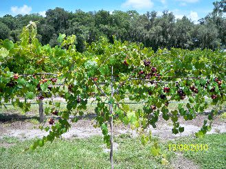 Fort Lonesome Farm - Grapes! Noble red grapes, 9 more varieties. Season start late June thru Mid September.