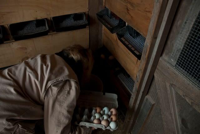 Meadow Mist Farm - Collecting Organically Fed Eggs