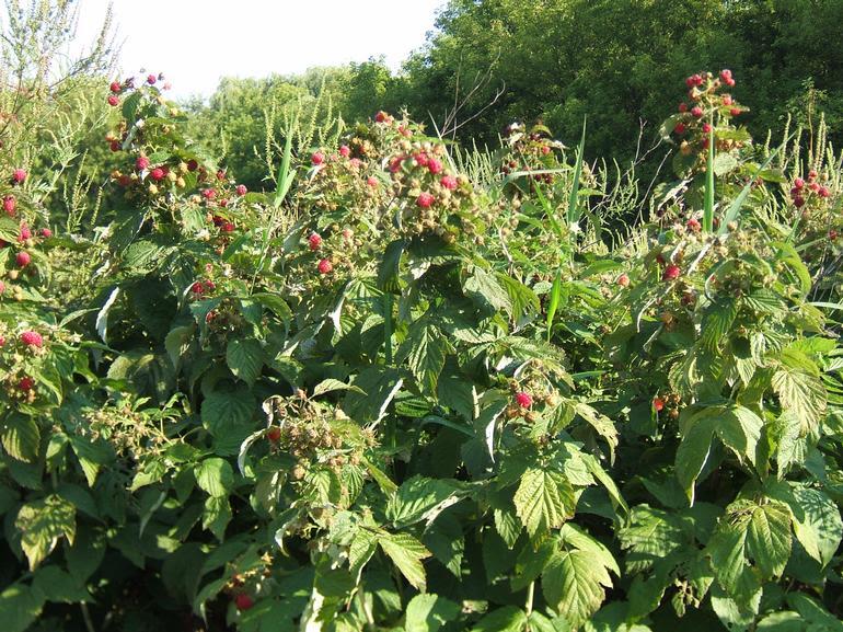 Beelafarm - Loads of late season raspberries!