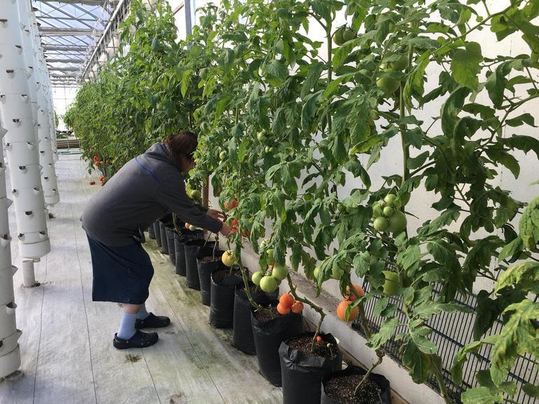 Adragone Aeroponics - Greenhouse Tomatoes