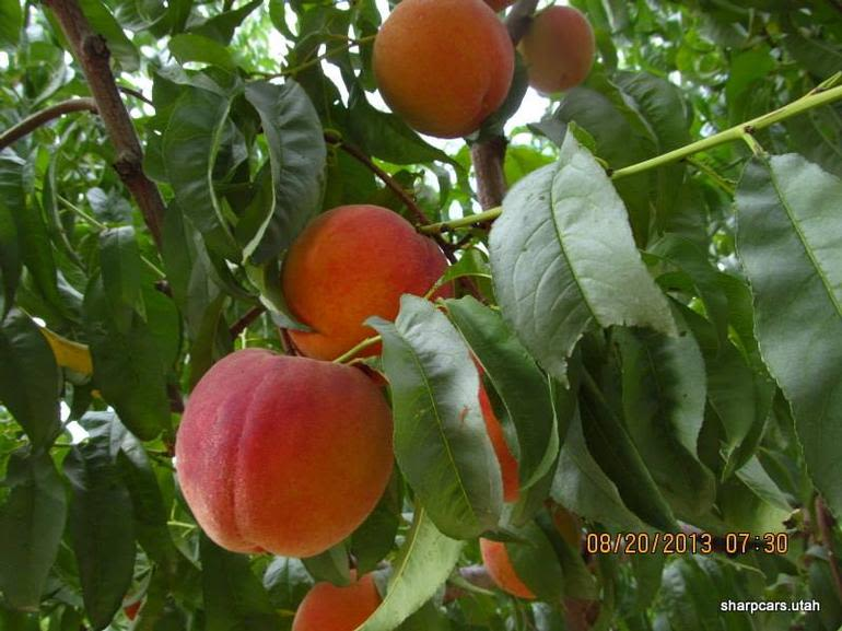 Rocky Top Fruit - Coral Star peaches