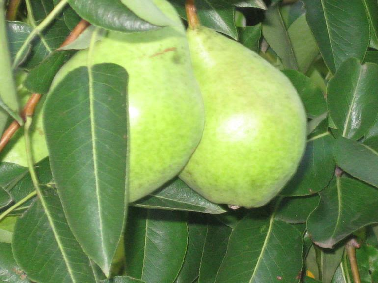 Burr Oak Farm LLC - Some of our pearsgrowing and ripening to juicy goodness.