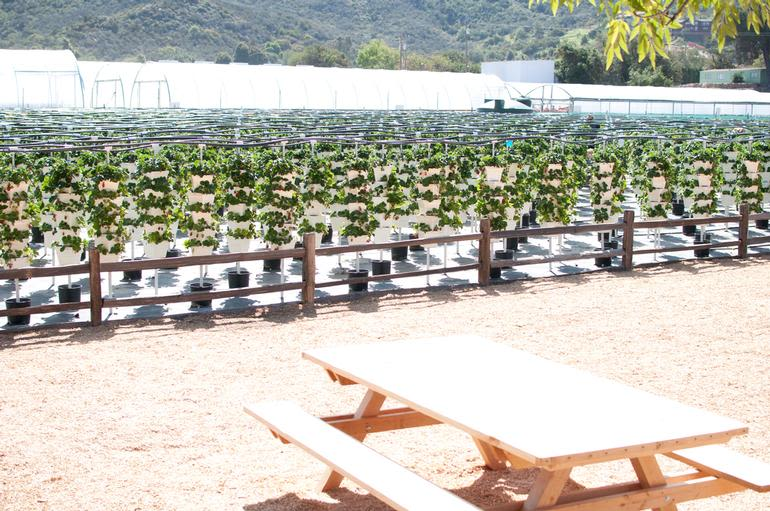 Temecula Valley Strawberry Farms - Picnic tables and strawberries!