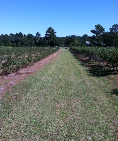 Blu-Witt Farm - Road through main field of blueberries