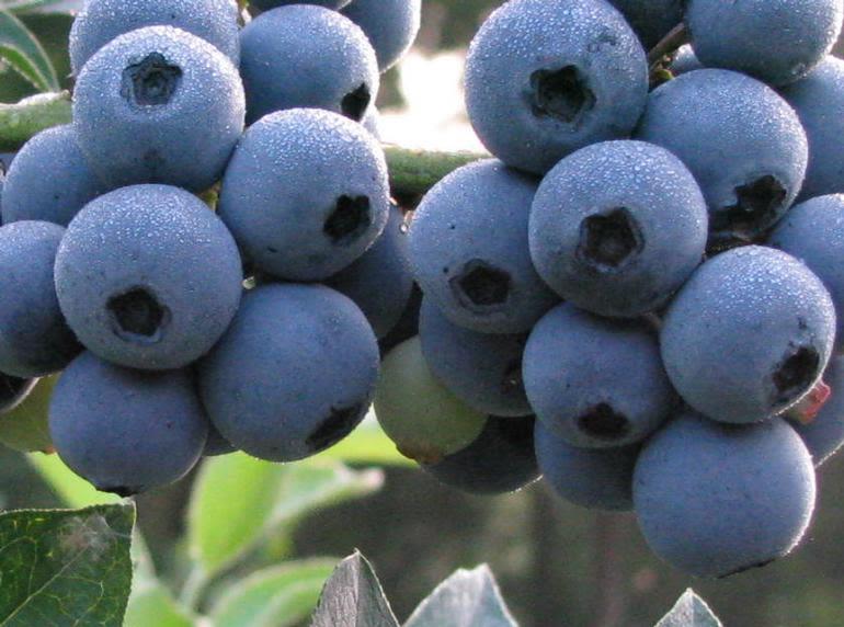 Miller Blueberry Farm - Image 0