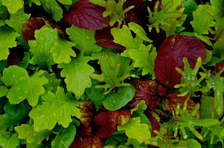Meadow Mist Farm - Mescalum salad green mix grown at MMF