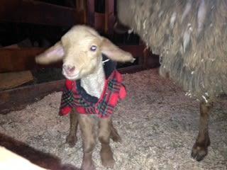Meadow Mist Farm - New Born Lamb at Meadow Mist Farm