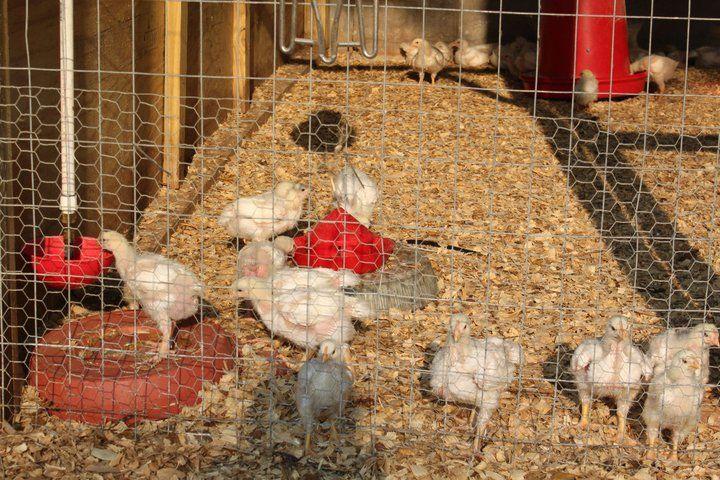 Lake Meadow Naturals, LLC - Broiler chickens growing