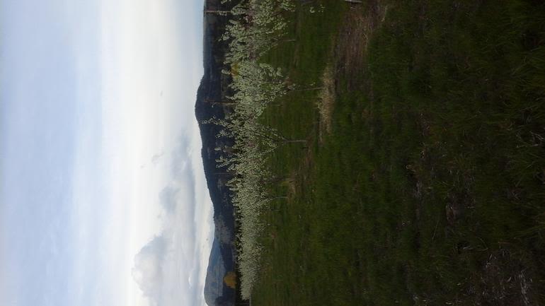 Espeut-Post Orchards - Espeut-Post Orchards - Plums in Bloom