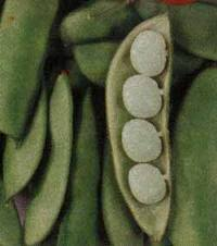 Hollisaja Farm - Butter peas
