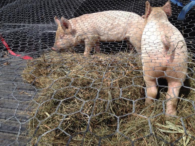 Meadow Mist Farm - Piggies