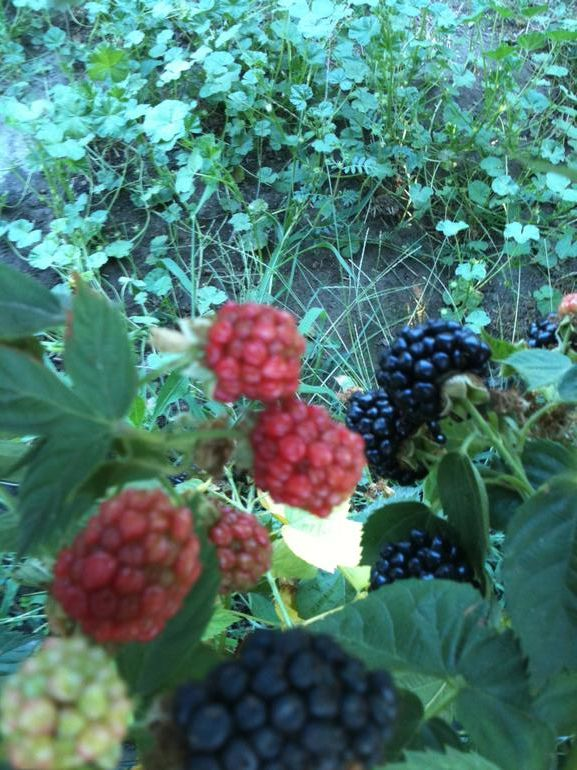 Blackberries Jubilee - Come visit us as part of your wine tasting tour in the Yakima Valley. Bring a camera as the berries and flowers can provide a background for some beautiful photos!
