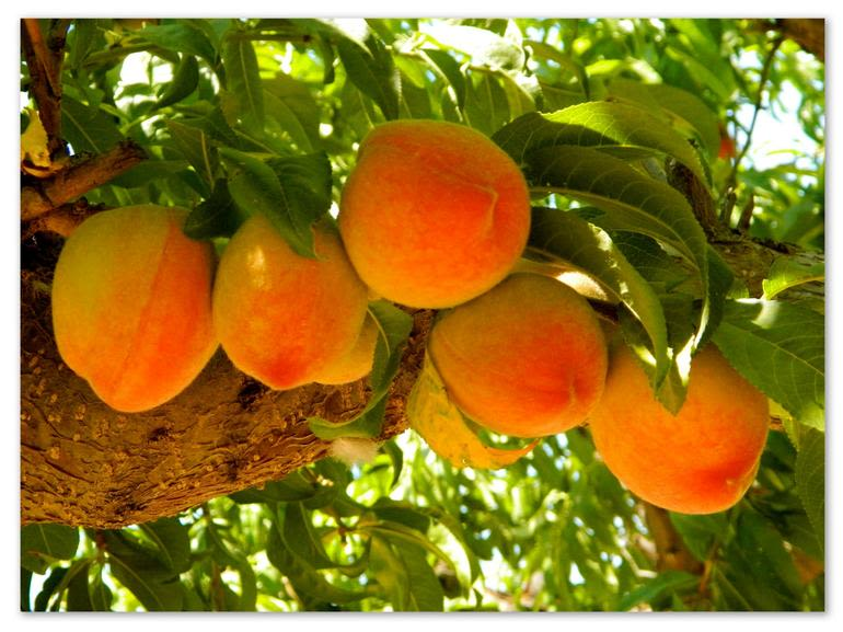 Prospect Hill Orchards-Peaches - Image 2