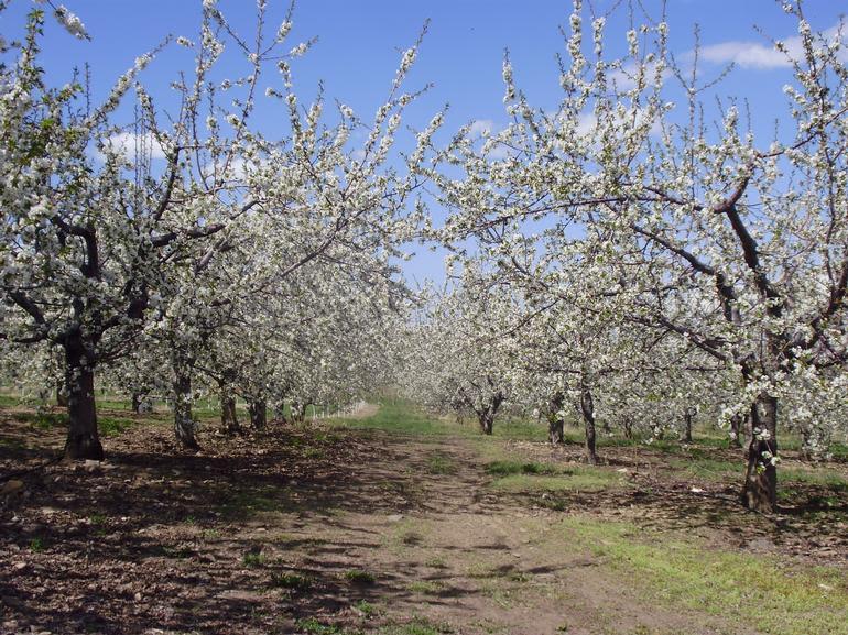 Rocky Top Fruit - Cherries in bloom