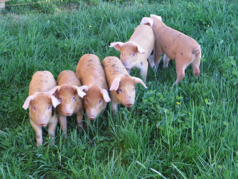 Laurel Ridge Farm - Our Heritage Pasture raised pigs
