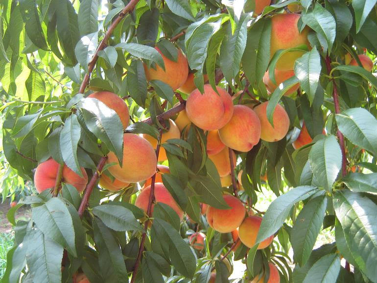 Dondero Orchards LLC - Image 2
