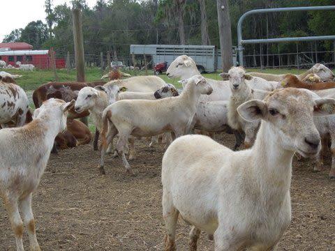Lake Meadow Naturals, LLC - Roberta & Roger raise our lambs