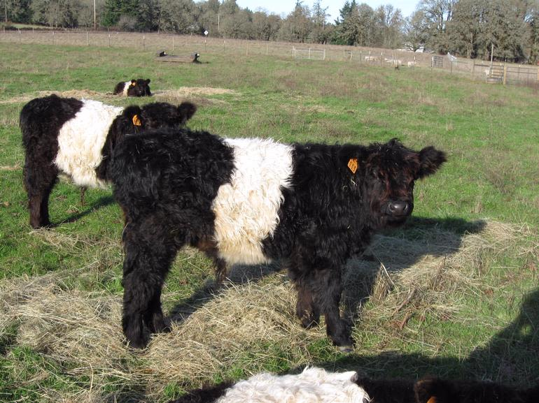 Sweet Home Farms - Heritage Belted Galloway