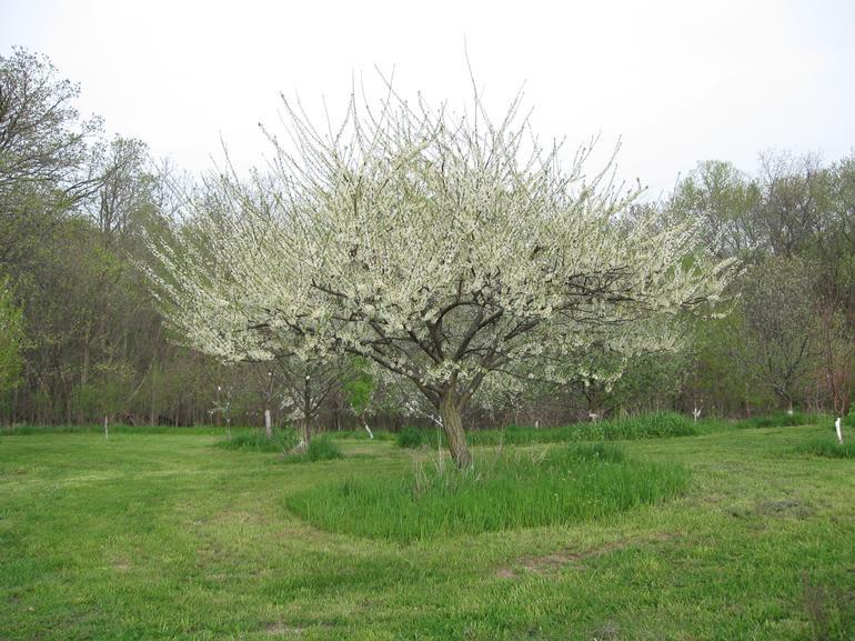 Burr Oak Farm LLC - Some plum trees in bloom.
