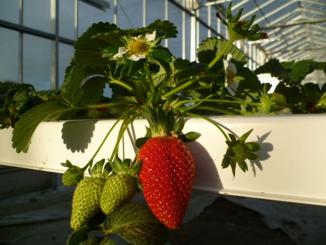 Hedgerows Hydroponic Strawberries - Perfect growing conditions for beautiful fruit