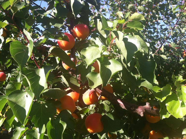 Fantozzi Farms - Fresh apricots picked daily, or pick your own!