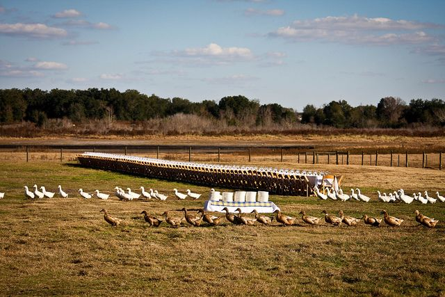 Lake Meadow Naturals, LLC - Outstanding in the field dinner hosted on farm in pasture with chickens and ducks