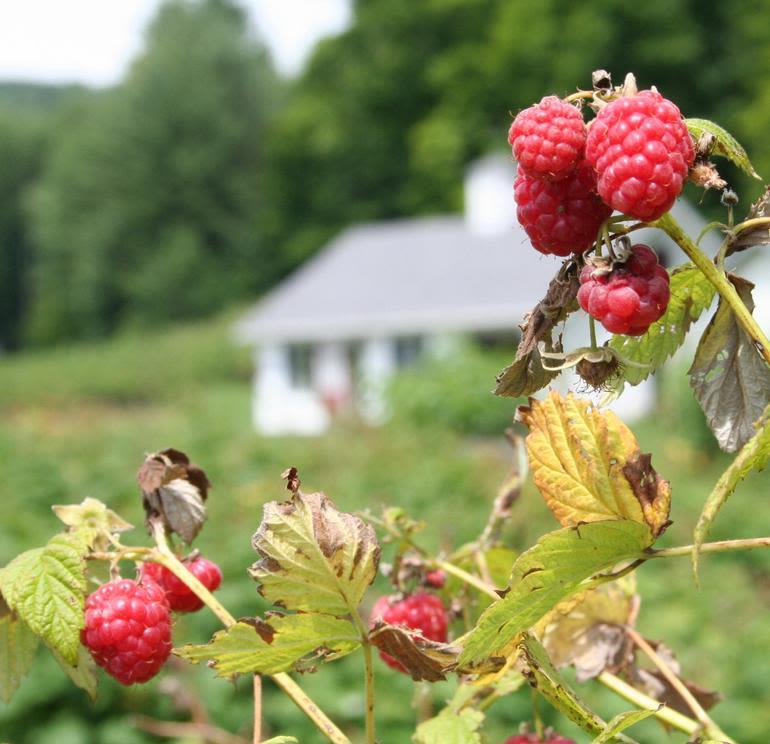 Sunshine Valley Berry Farm - Reveille Raspberries!