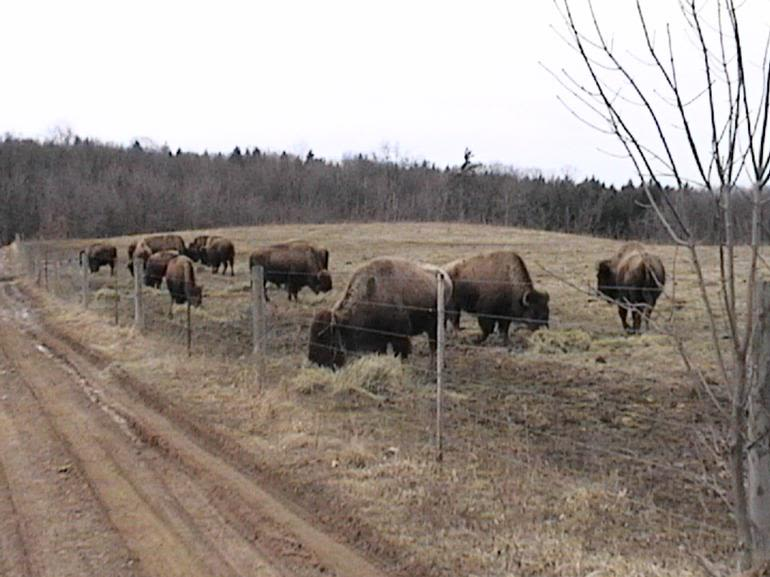 Nature'sComeback Bison Ranch - Our herd enjoying some hay before the spring grasses start to emerge.