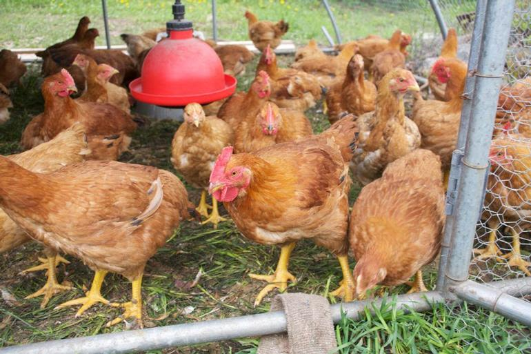 Meadow Mist Farm - Pastured Chicken