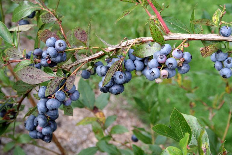 Sunshine Valley Berry Farm - Patriot Blueberries