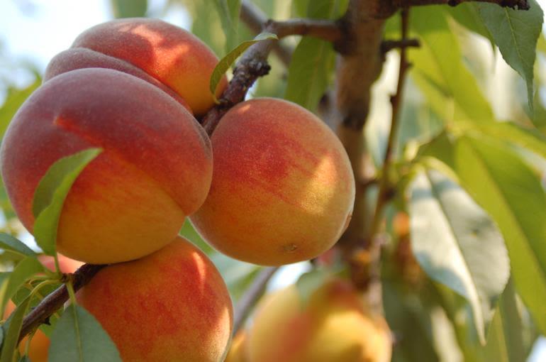 Kent Fort Farm - peaches ripe on the tree