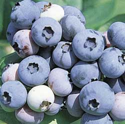 Alyson's Orchard - Blueberries